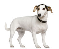 Chien terrier de Jack Russell, 3 années, restant Photographie stock libre de droits