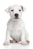 Chien terrier de Jack Russell Photo stock