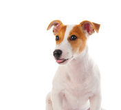 Chien terrier de Jack Russell Photos libres de droits