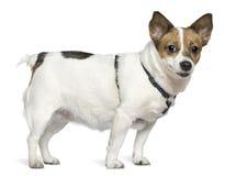 Chien terrier de Jack Russell, 6 années, restant Images libres de droits