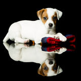 Chien terrier de Jack Russell Image libre de droits