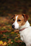 Chien terrier de Jack Russell Images stock