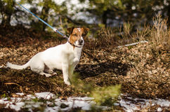Chien terrier de Jack Russell Photos stock