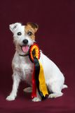 Chien terrier de Jack russell Photo stock