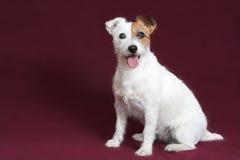 Chien terrier de Jack russell Photographie stock
