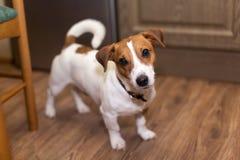 Chien terrier de Jack Russell Photos libres de droits