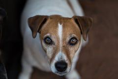 Chien terrier de Jack Russell pet Fermez-vous vers le haut du visage images stock