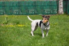 Chien terrier de Jack Russell sur une pelouse Images libres de droits