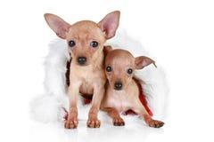 Chien terrier de jouet deux dans le capuchon de Noël Photo stock