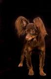 Chien terrier de jouet russe Photographie stock libre de droits