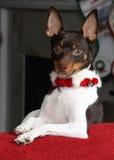 Chien terrier de Noël Photo stock