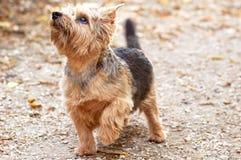 Chien terrier de Norfolk Images stock