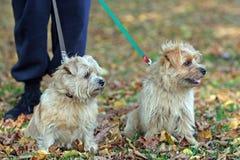 Chien terrier de Norfolk Image stock