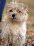 Chien terrier de Norfolk Photographie stock libre de droits