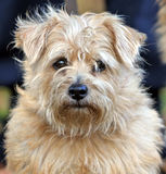 Chien terrier de Norfolk Images libres de droits