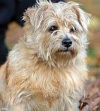 Chien terrier de Norfolk Photo libre de droits