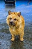 Chien terrier de Norwich Image libre de droits