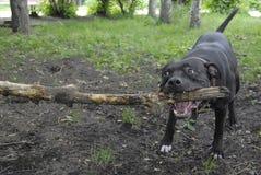 Chien terrier de pitbull Photo libre de droits
