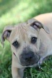 Chien terrier de pitbull dans l'herbe Images libres de droits