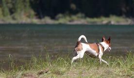 Chien terrier de rat fonctionnant le long du rivage de lac Photo libre de droits