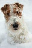 chien terrier de renard de crabot Photographie stock libre de droits
