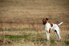 chien terrier de renard Lisse-d'une chevelure photo stock
