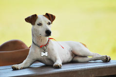 Chien terrier de Russell Photos libres de droits