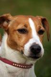 chien terrier de russell de plot Photo libre de droits