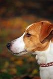 chien terrier de russell de plot Images libres de droits