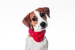 Chien terrier de russell de plot de chiot Image stock