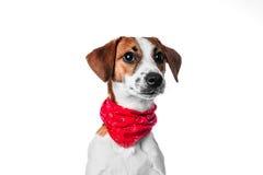 Chien terrier de russell de plot de chiot Image libre de droits