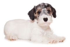 Chien terrier de Sealyham Photographie stock