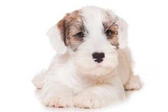 Chien terrier de Sealyham Photos stock