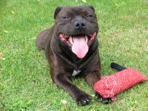 Chien terrier de Staffordshire américain 1/2 Image libre de droits