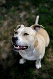 Chien terrier de Staffordshire américain Photographie stock libre de droits