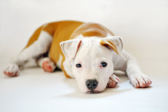 Chien terrier de Staffordshire américain Photos stock