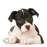 Chien terrier de Staffordshire américain image libre de droits