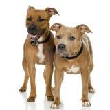 Chien terrier de Staffordshire américain Image stock