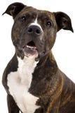 Chien terrier de Staffordshire américain Photographie stock