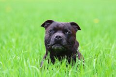 Chien terrier de Staffordshire américain photo stock