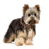Chien terrier de Yorkshire (1 an) Images libres de droits