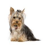 Chien terrier de Yorkshire (10 mois) Photographie stock libre de droits