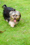Chien terrier de Yorkshire Photographie stock