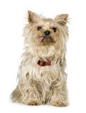 Chien terrier de Yorkshire (13 ans) Photo stock