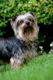 Chien terrier de Yorkshire Photo libre de droits