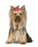 Chien terrier de Yorkshire (15 mois) Images libres de droits