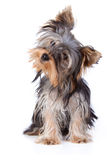 Chien terrier de Yorkshire Photos stock