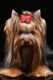 Chien terrier de Yorkshire Images libres de droits