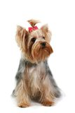 Chien terrier de Yorkshire Photo libre de droits