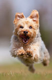 Chien terrier de Yorkshire Photographie stock libre de droits